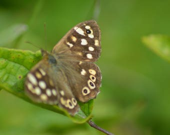 Speckled Wood on a 10 by 8 glossy print