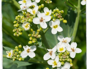 Crambe hispanica ssp. Abyssinica 'Abyssinian Kale' 50 SEEDS