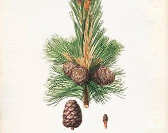 Vintage Pine Cones, Acorns Print 8x10 P237
