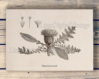 Thistle, Vintage botanical wall art, Thistle print, Thistle illustration, Botanical art, Antique print, Instant download, JPG PNG files