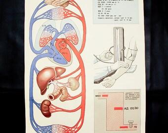 Circulatory system human anatomy medical print anatomy medical anatomy art print medical illustration vintage anatomy medical school decor