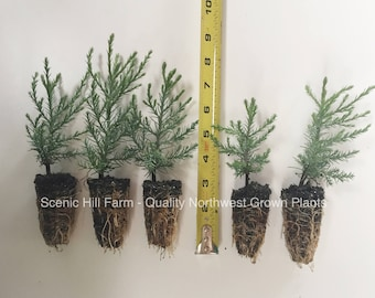 "20 Giant Sequoia Trees - California Redwood - Potted - 3"" - 5"" Tall Seedlings - Price Includes Free Shipping!"