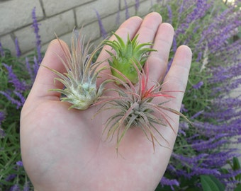 Ionantha Air plant pack, 3 5, 10, tillandsia air plants Air Plant Ionantha Pack, Air Plant Terrarium Plants Bulk Air Plants, Tillandsia