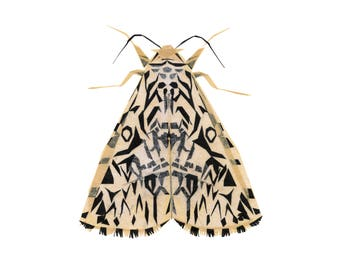 Nelly Nun Moth - Moth Art Print, Moth Decor, Insect Art Print