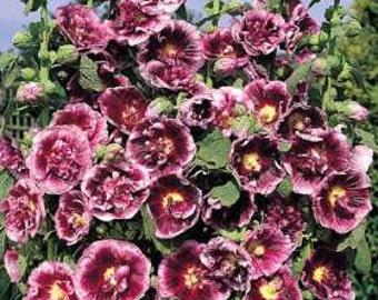 35 old fashioned giant dark purple single hollyhock flower 35 old fashioned giant creme de cassis hollyhock flower seeds perennial mightylinksfo