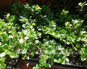 6 Arctostaphylos Uva-Ursi, Kinnikinnick- Groundcover, Attracts Hummingbirds - Includes Free Shipping!
