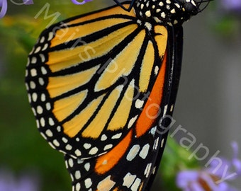 Nursery Decor, Orange Black White Butterfly Monarch Lavender Nature, Fine Art Photography signed matted 5x7 Original Photograph