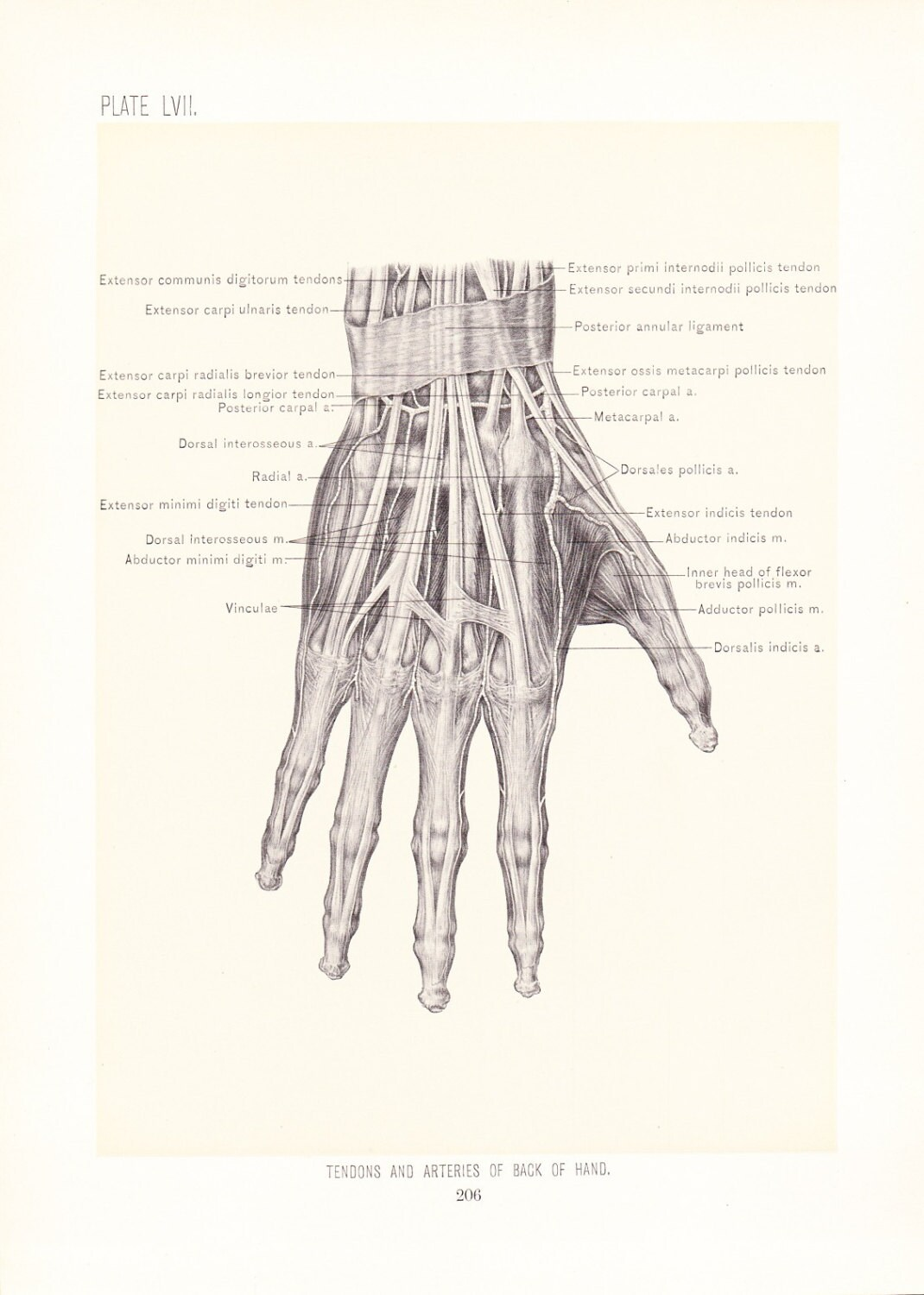 1899 Human Anatomy Print - Tendons and Arteries of Hand - Vintage ...