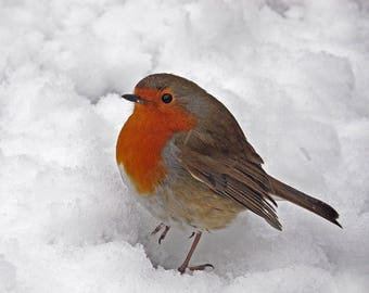 Robin in the snow at winter