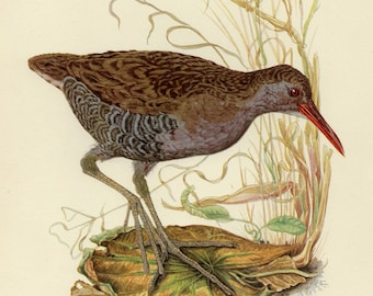 Vintage lithograph of the water rail from 1953