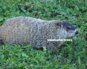 Groundhog in Clover - Ships Free