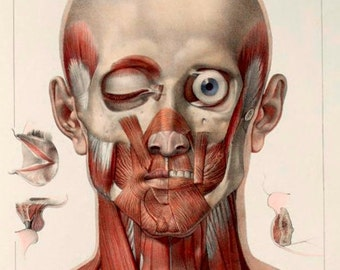 Antique Medical Neck & Facial Muscles Illustration A3 Poster Reprint