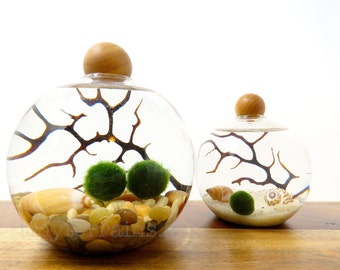 Marimo Family Terrarium Set Japanese Marimo Moss Ball Terrarium Kit Gift Beach Decor Home Decor Indoor Plants