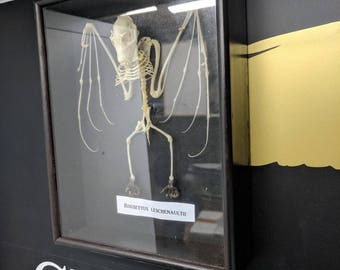 Taxidermy real complete  bat skeleton in frame with glass front, Leschenault's rousette (Rousettus leschenaultii) is a species of fruit bat