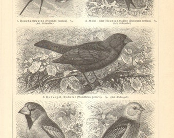 1906 Original Antique Engraving of Passerine Birds, Barn Swallow, House Martin, Hawfinch, Yellowhammer, Rosy Starling, Great Grey Shrike