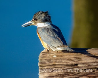 Belted Kingfisher - Photographic Print