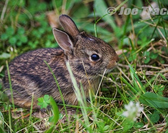 Baby Eastern Cottontail Rabbit, Art, Photography, Wall Art, Nature, Animals, Wildlife, Bunny