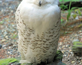 Sleepy Snowy Owl, Original Nature Art Photo Print