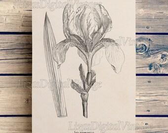 Iris, Floral print, Iris art, Flower art, Iris print, Flower clip art, Botanical print vintage, Digital print, Flower print, Art, JPG PNG