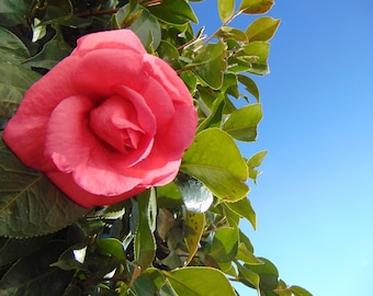 Big Pink Flower with Blue Sky Photo