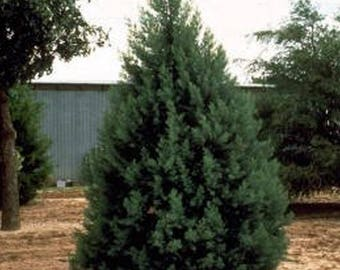 100 Arizona Cypress Tree Seeds, Cupressus Arizonica
