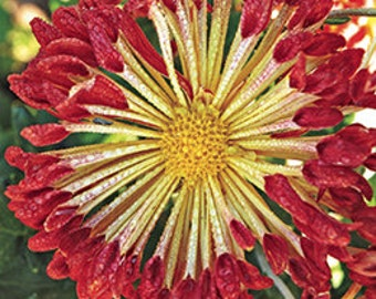 PBCHR) MATCHSTICKS CHRYSANTHEMUM~Seed!!~~~~~~~Beautiful New Variety!!!!