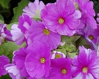 Lavender Fairy Primrose Flower Seeds / Malacoides/ Primula/ Perennial  50+
