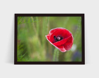 The Poppy - Original Photographic Print