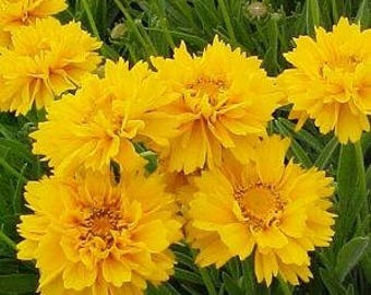 Coreopsis (Coreopsis 'Early Sunrise') - live plants - perennial plants - yellow flowers - plants for sun - yellow flowers - yellow daisy