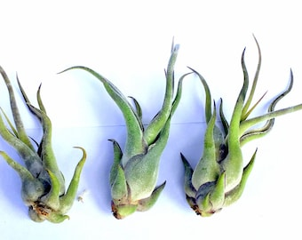 Air Plant Medusa Mix of 3
