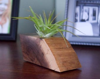 Air Plant Holder Made from American Black Walnut with Air Plant