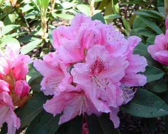 LIVE PLANT -- Rhododendron hybrida Albert Schweitzer - Dwarf Rhododendron - Plant in 9cm Pot9