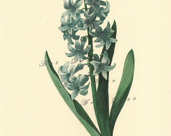 vintage botanical print by Pierre Redoute, Blue Hyacinth, printable digital image no. 1569