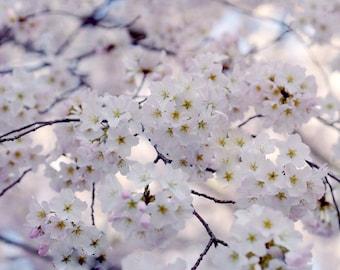 Japanese Cherry Blossom sakura tree branch photograph, Cherry blossom art print Spring nature, white pale pink lavender floral girls bedroom
