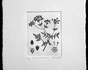 Poison Hemlock Original Fine Art Etching Print (Editioned Botanical Illustration)