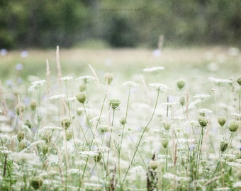 Green Nature Print or Canvas Art, White Queen Anne's Lace, Flower Print, Green Decor, Field Landscape, Wildflowers, Nature Art, White.