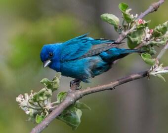 """Blue Bird Print, Bird Photo, Indigo Bunting, Bird Art, """"Indigo Bunting"""""""