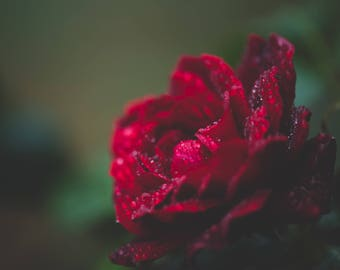 Red Rose, Raindrops, Rose with raindrops, Red rose Photography, Rose Decor, Red Rose Decor