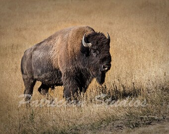 "Wyoming Yellowstone Bull Bison, Buffalo; "" Head of the Herd"" (AB102)"