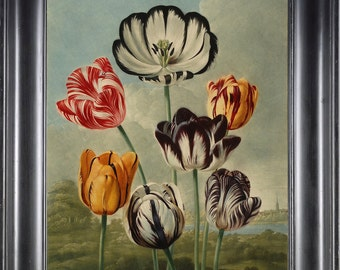 BOTANICAL PRINT THORNTON 8x10 Botanical Art Print 4 Beutiful Antique Tulips in Red White Yellow Purple Spring Summer Garden Plants to Frame