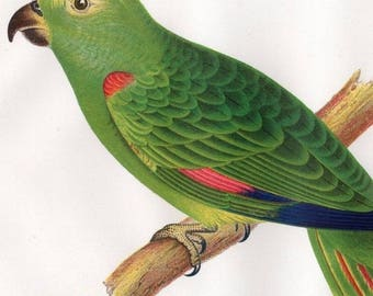 Antique Natural History Hand Colored Stunning Engraving,Yellow Crowned Parrot Psittacus Gmelin Bird