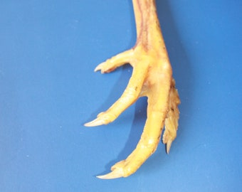 Decor Talisman BIG Natural Chicken Foot Charm Lucky Chicken Foot Protection Amulet Chicken Feet Taxidermy Bird Foot