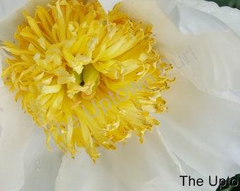 Yellow and White Flower Photo Print