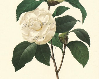 white camelia botanical print by Pierre Redoute, printable art for home decor and more, digital download no. 736