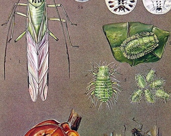 Bug Print - Aphids, Summer Nymph, Beech Aphid, Galls Aphids - 1973 Vintage Book Page - 10 x 7