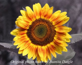 ID2902 1  8x10 Flower Photograph Print  of a Sunflower with a Black & White Background