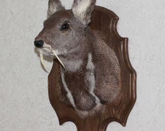 Siberian Musk Deer - Taxidermy Head Shoulder Mount, Stuffed Animal For Sale - Musk-Deer - ST3781