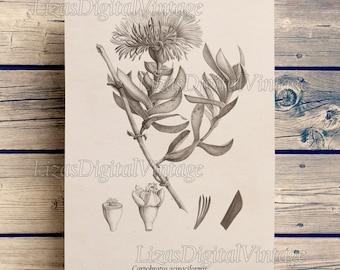 Antique botanical print, Succulent print, Digital print, Floral print, Succulent art, Vintage prints, Botanical wall art, Art print, JPG PNG