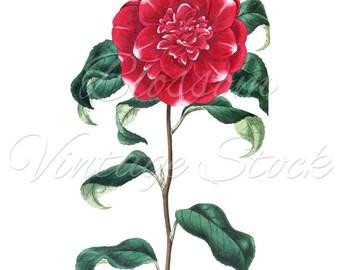 Red Camellia Botanical Print, PNG Red Flower, Vintage Digital Graphic Antique Illustration for Printing, Artwork - INSTANT DOWNLOAD - 1116