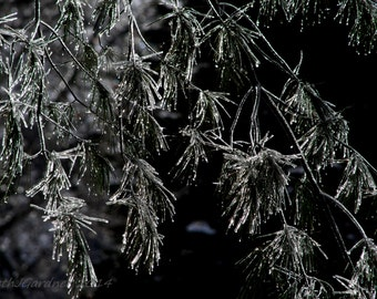 Fine Art Photography -- Icy Evergreen